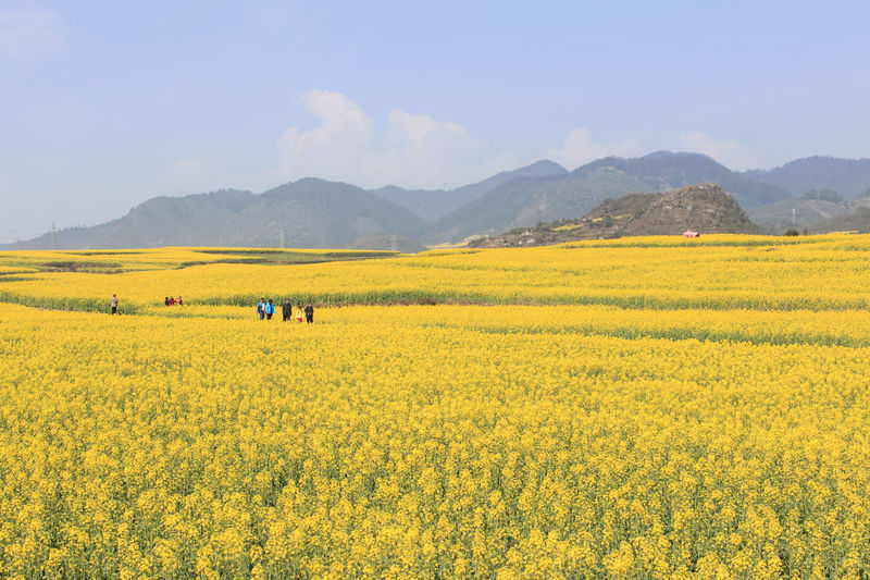 Rapeseed flowers of Luoping in Yunnan China Agriculture ASIA Beauty In Nature Bees China Field Flower Growth Honey HoneyBee Landscape Luoping Minority Nature Rapeseed Rapeseed Blossom Rapeseed Field Rural Scene Scenics Tradition Tranquil Scene Tranquility Yellow Yunnan Yunnan ,China