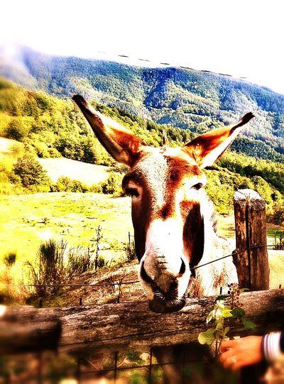 Donkey Prettydonkey Donkey Portrait Donkey Photography Donkeyface Donkey Animals Donkeyshot Donkey Ears Donkey Eye