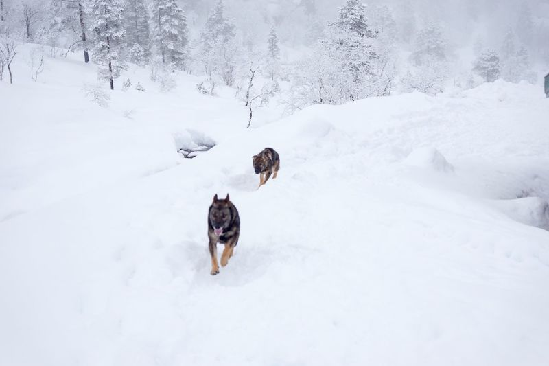 Cold Weather Dogs Running  Winter Hiking Norway Nature Remote Location Snowy Forest Dogs Of EyeEm Dogs Playing In The Snow Snowy Trees Winter Wonderland Two Dogs German Shepherd Snow Winter Cold Temperature Canine Animal Themes Dog Animal Mammal Pets Domestic Domestic Animals Nature White Color Environment Day No People Outdoors Land