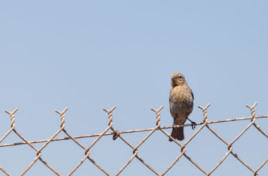 Female house finch bird with a brown body sits on a fence ready to fly off at a marsh in Southern California in the United States Animal Themes Animal Wildlife Animals In The Wild Antenna - Aerial Bird Clear Sky Day Fence Finch House Finch House Finch - Female Low Angle View Mourning Dove Nature No People One Animal Outdoors Perch Perching Small Bird Wildbird