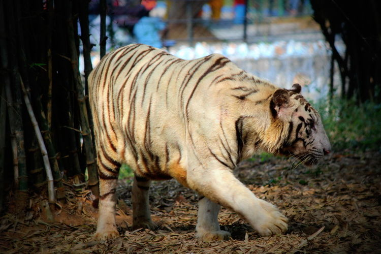 #single_tiger #Tiger #white_tiger Animal Themes One Animal Relaxing Zoology