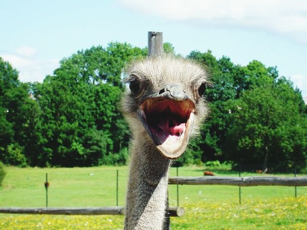 Ostrich Lithuania