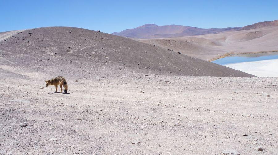 EyeEm Selects Desert Nature Beauty In Nature Animals In The Wild zorro