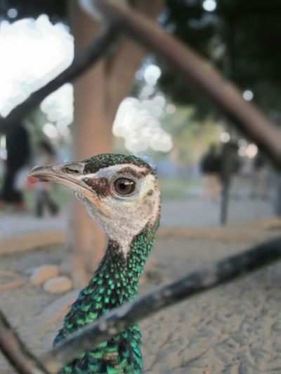 Peacock Taking
