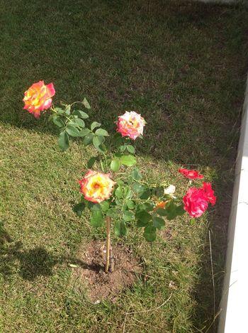 Our Garden Multicoloured Rose♥ Taking Photos
