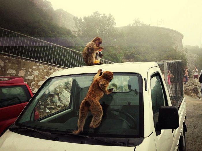 Gibraltar Apes Walking Around
