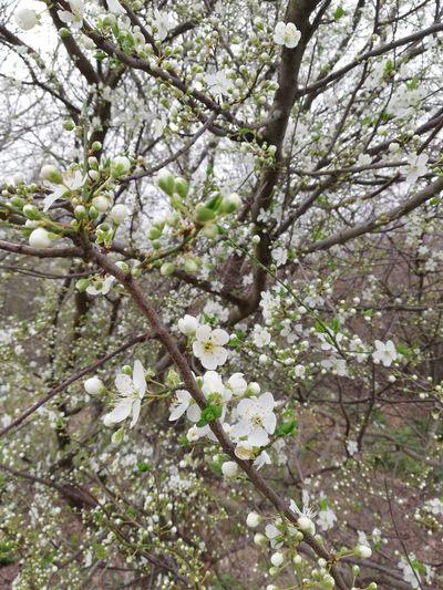 Tree Flower Branch Springtime Blossom Apple Blossom White Color Close-up