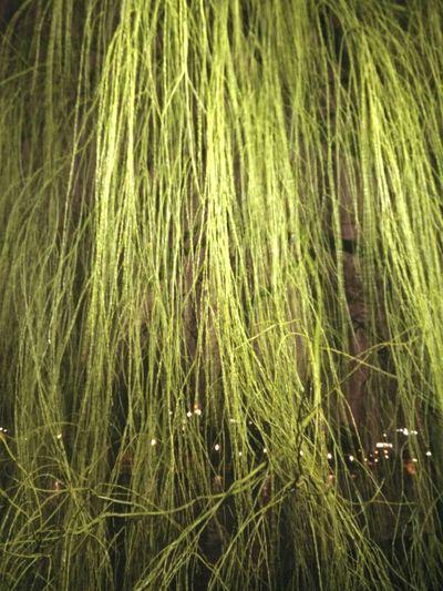 Trauerweide Frühlingsgrün Spring Green Weeping Willow