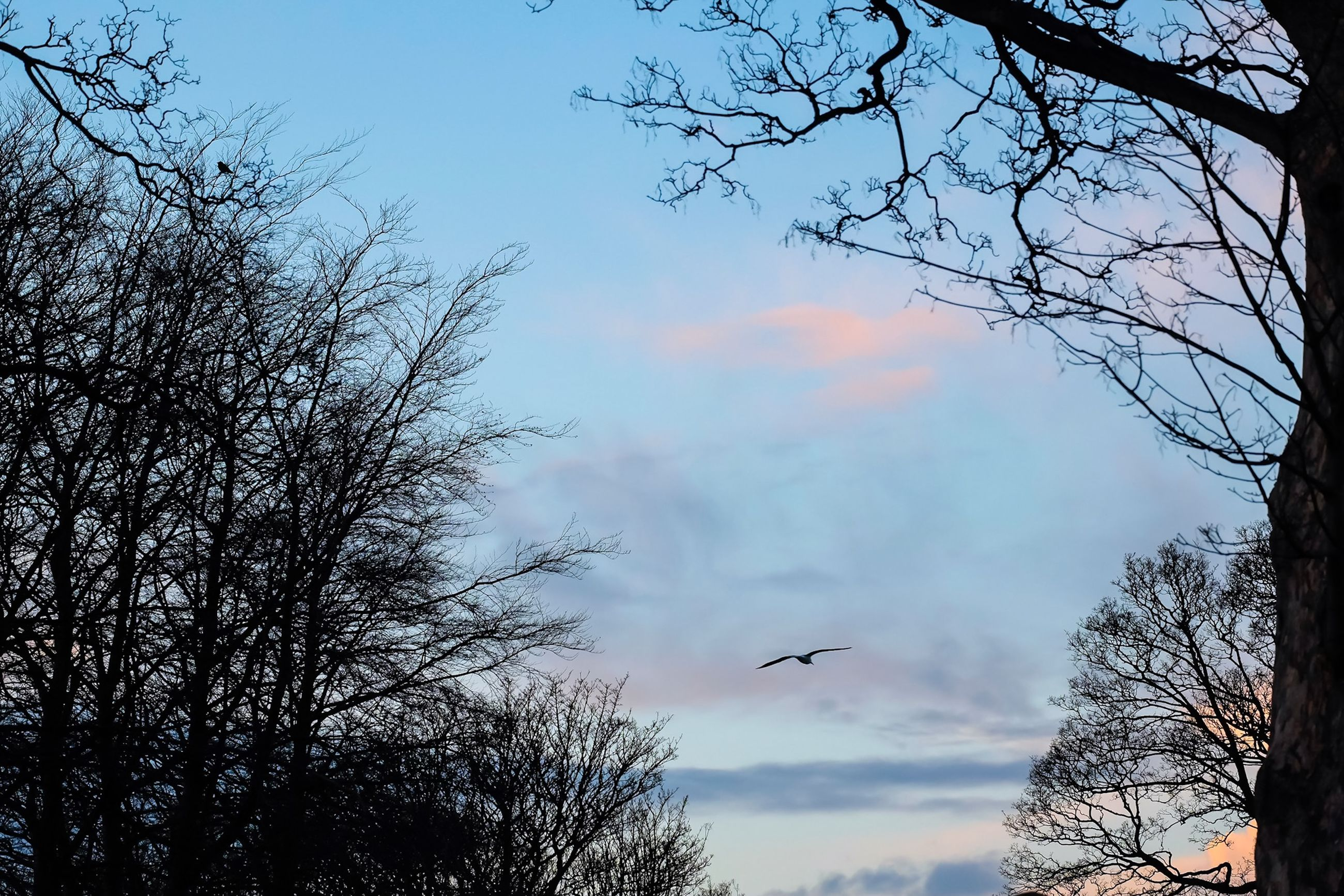 bird, low angle view, animal themes, animals in the wild, tree, wildlife, sky, flying, branch, silhouette, bare tree, one animal, nature, beauty in nature, perching, cloud - sky, spread wings, tranquility, outdoors, scenics
