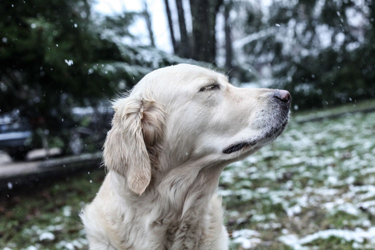 Adorable Animal Themes Close-up Cute Day Dog Domestic Animals Enjoying Life Focus On Foreground Golden Retriever Happiness Lovely Mammal Nature No People One Animal Outdoors Pet Photography  Pets Portrait Snow Winter