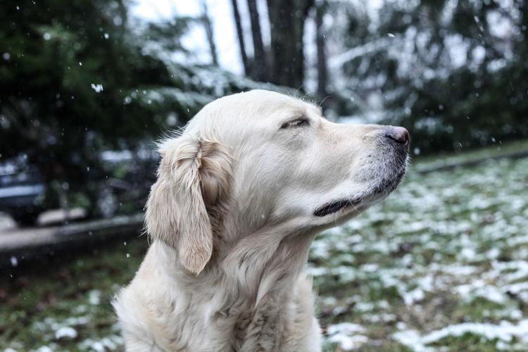Close-Up Portrait Of Golden Retriever