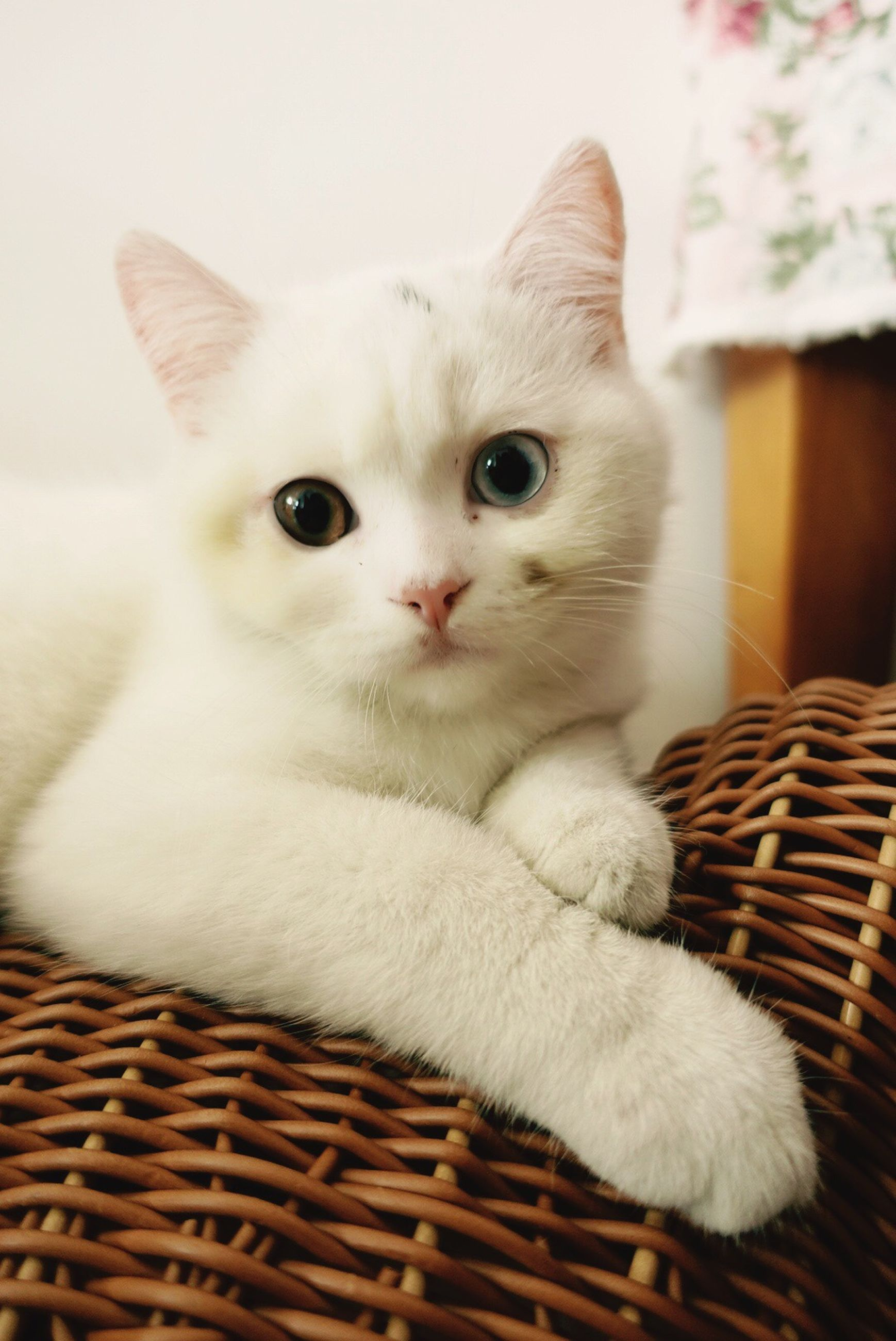 domestic cat, pets, domestic animals, looking at camera, portrait, one animal, mammal, feline, animal themes, indoors, home interior, whisker, no people, close-up, day