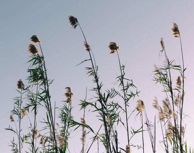 Park, Autreed Common Common Reed Common Reeds Grasslands Grasslands Biome Natural Nature Phragmites Phragmites Australis Plant Sky Sunset Vintage