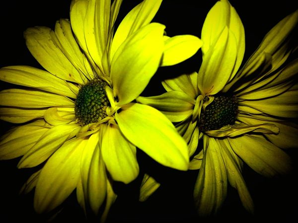 The OO Mission Taking Photos Tennessee Mountains Tennessee Nature Nature Photography TruthIsBeauty Photographic Art No People Beauty In Nature Yellow Flower Two Flowers Flowers :) Flowers, Nature And Beauty Flower Photography JustJennifer@TruthIsBeauty Botany Close-up Tranquility Flash Photography Flowers,Plants & Garden Floral Flower Collection Floral Perfection Fine Art Photography Enjoying Life Nature