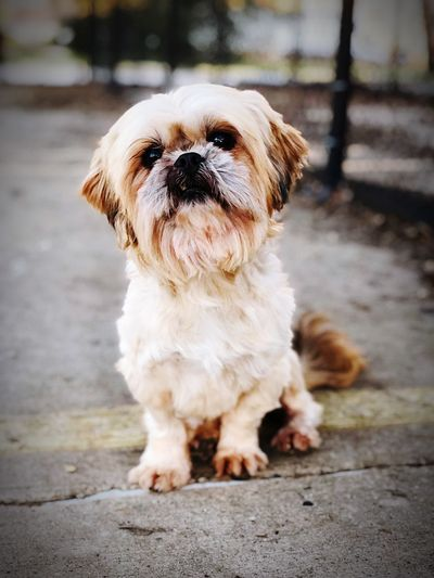 Confused Shihtzu Veterinary Clinic Pets Photography Canine Companion Canine Companion One Animal Mammal Pets Domestic Animals Domestic Dog Canine No People Day Sitting Cute Small Portrait Front View Focus On Foreground Looking EyeEmNewHere The Mobile Photographer - 2019 EyeEm Awards