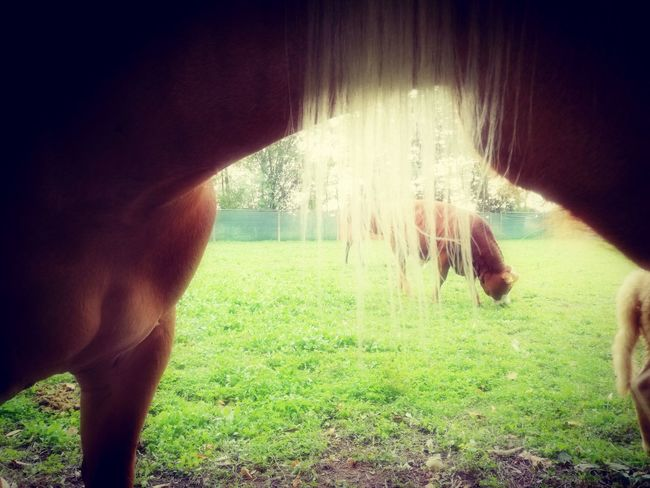 Newentry Grass Outdoors Agriculture Domestic Animals Animal Themes Beauty In Nature Horse Photography  Horse Halfinger Blondie Cow