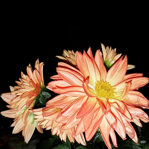 #orange  #orange Color #effect #Filter  Flower Head Black Background Flower Petal Close-up Plant Plant Life Stamen Pistil Pollen