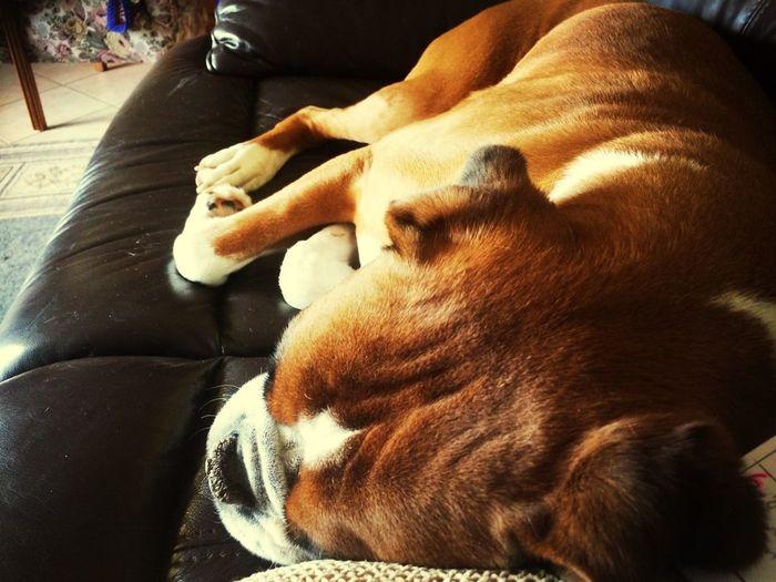 Sleepy Fellow Taking Photos Relaxing Boxer Human First Eyeem Photo