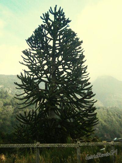 Araucaria Flora Villa Mañihuales Sur De Chile Mochileando