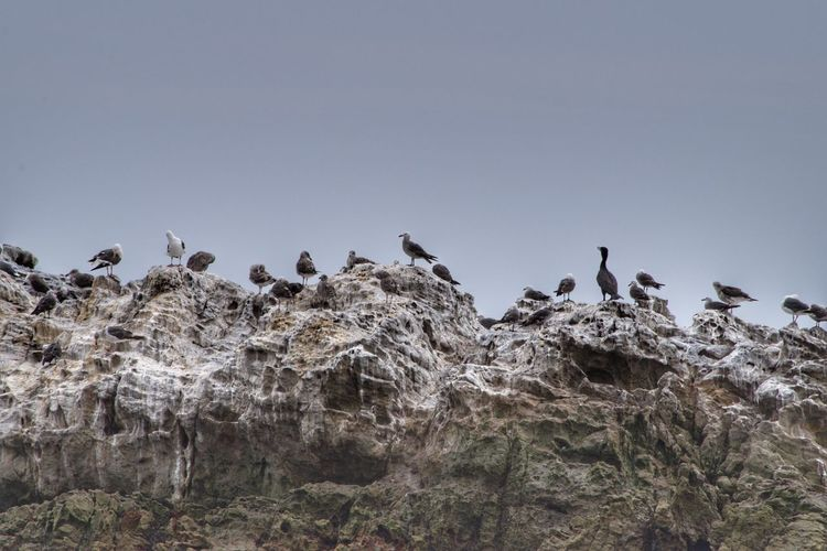 Low angle view of birds perching on rock against clear sky