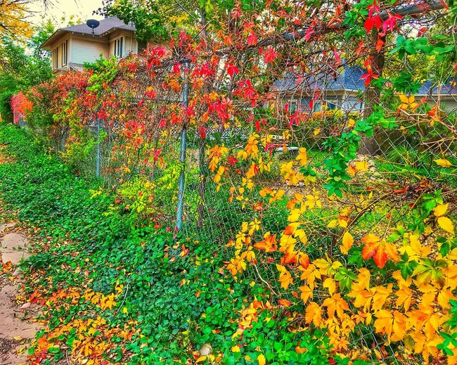 """Autumn Fence"" A chainlink fence on a backstreet of Roswell, New Mexico, is adorned in beautiful Autumn frock. Multi Colored Newmexico Newmexicophotography Fence Chainlink Fence Autumn Autumn Colors Autumn Leaves Autumn Collection Color Fall Fall Beauty Fall Colors Fall Leaves Street"