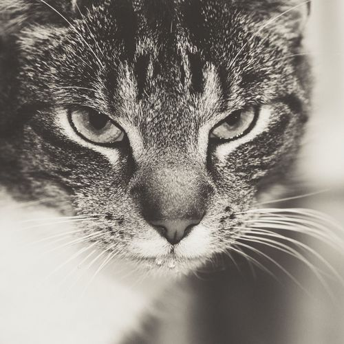 Cat One Animal Domestic Pets Feline Mammal Domestic Cat Domestic Animals Whisker Close-up Portrait Vertebrate Looking At Camera No People Animal Body Part Indoors  Animal Eye Tabby Snout