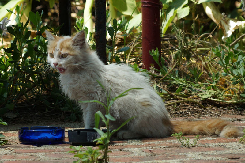 White Cat Snarling