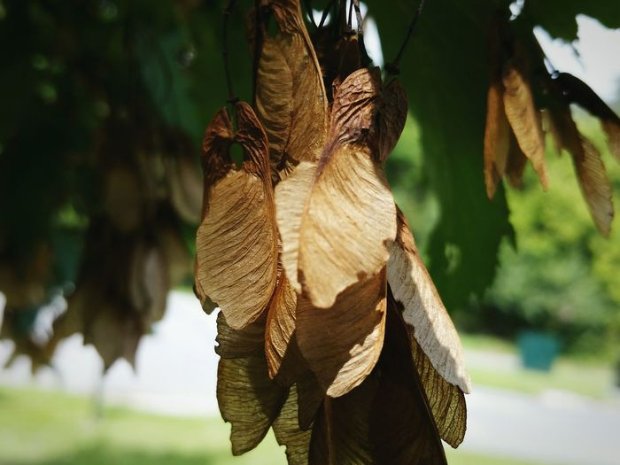 Close-up of dry maple seed pods hanging on tree