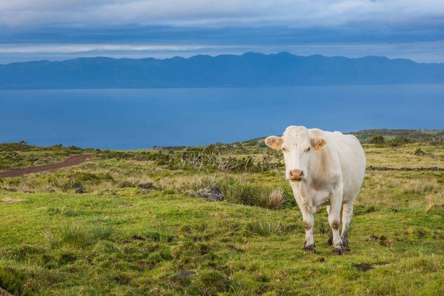 Azores Pico Açores Cow Island Nature First Eyeem Photo