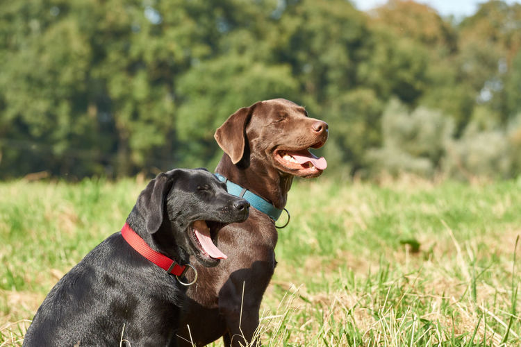 Brown and black Labrador Buddies Brown Labrador  Animal Themes Black Labrador Close-up Day Dog Domestic Animals Focus On Foreground Grass Humans Best Friend Labrador Retriever Mammal Nature No People Outdoors Pets Retriever Side View Sitting Two Dogs Two Dogs Relaxing Set Of Three Series Of Three