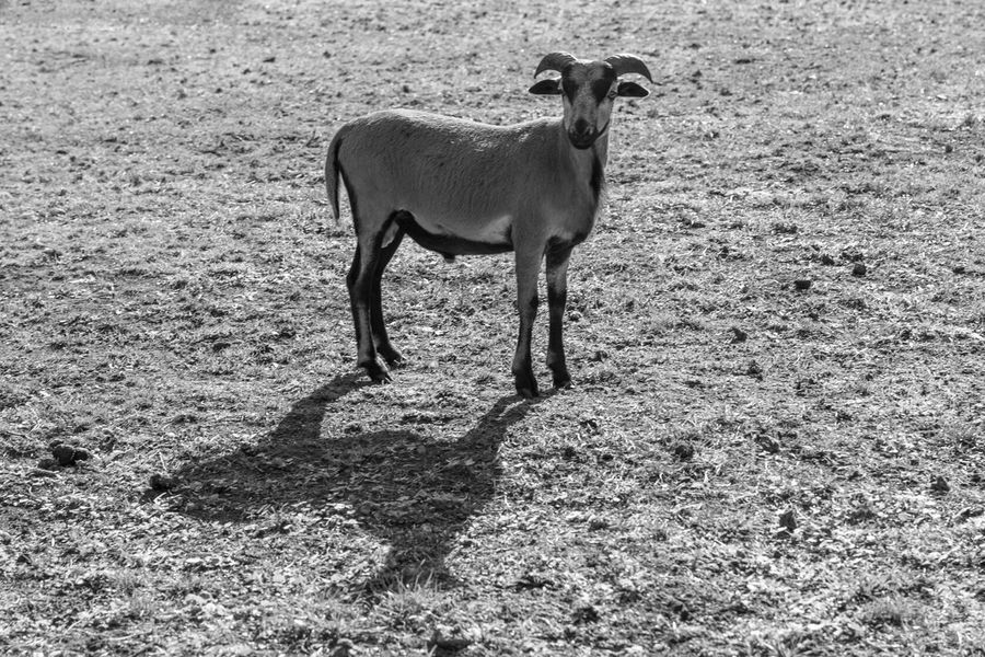 Animal Themes One Animal Mammal Field Domestic Animals Livestock Shadow Day Sunlight Outdoors No People Nature Young Animal Full Length Grass Black And White Blackandwhite Blackandwhite Photography