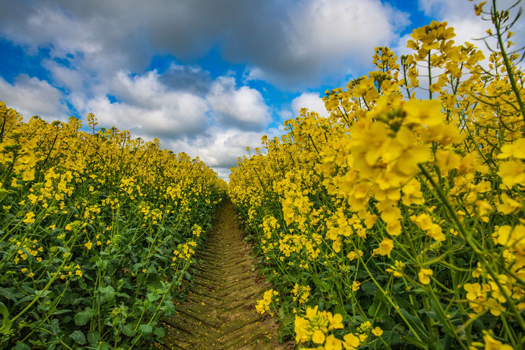 Yellow Flower Plant Beauty In Nature Flowering Plant Growth Sky Cloud - Sky Agriculture Nature Freshness Land No People Tranquility Scenics - Nature Field Landscape Rural Scene Day Oilseed Rape Outdoors Springtime Flower Head Rape Seed Fields Rapeseed Field Tractor Tracks Stay Out