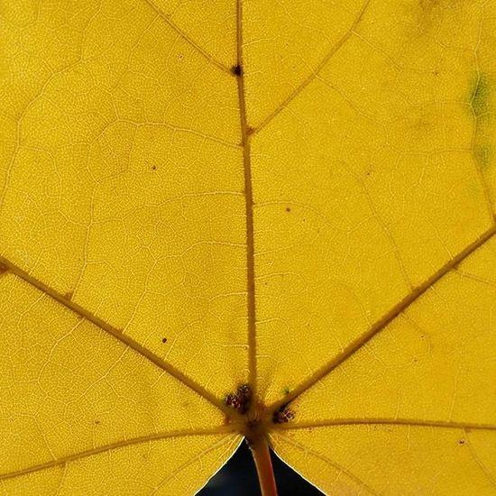 Levelek Level Leaves Leaf Erek Sárga Yellow ősz Autumn Napsütés Napfeny Sunlight Sunshine Naturephotography Nature Naturelovers Naturephotographer Természetfoto Természet Magyarfoto Magyar Magyarfotósok Nofilter Nofilterneeded Pattern Pieces