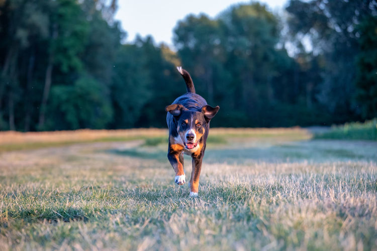 Portrait of dog running on field