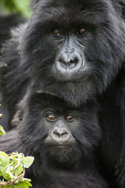 Gorilla Mother with Child National Park Rwanda Animal Animal Family Animal Themes Animal Wildlife Animals In The Wild Black Color Chimpanzee Close-up Day Endangered Species Eye Face Gorilla Kongo Looking At Camera Mammal Nature No People One Animal Outdoors Portrait Virunga Young Animal