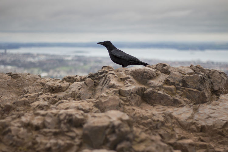 Side view of black bird perching on rock
