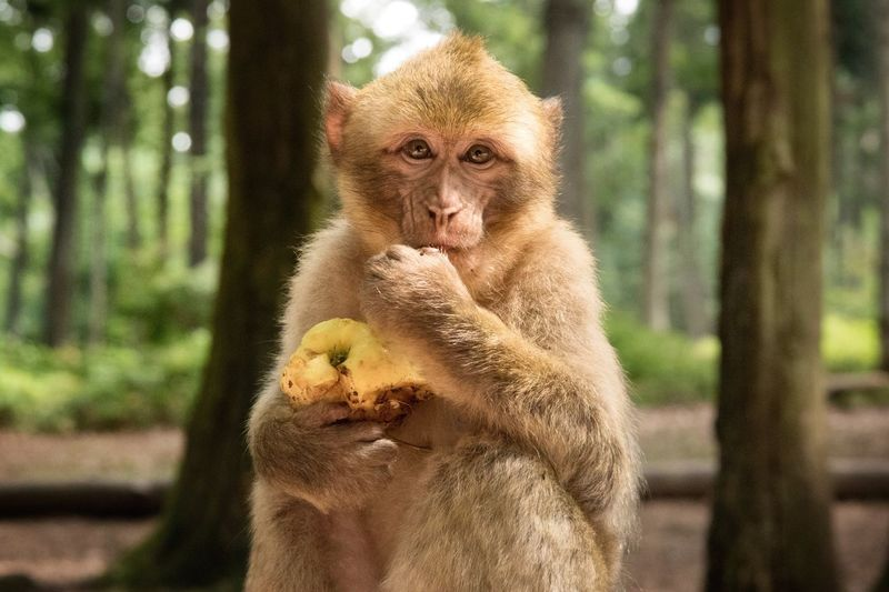 Happy monkey Animal Animal Photography Animals In The Wild Wildlife Forest Monkey Montagne Des Singes France Alsace France Cute Adorable Ladyphotographerofthemonth EyeEm Best Shots EyeEm Animal Lover Tadaa Community Outdoors Looking At Camera Monkey Eating Apple Animal In The Wild Barbary Macaque Berberaffe Macaque