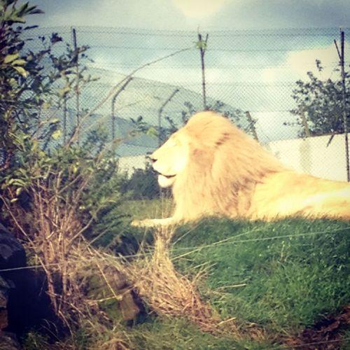 Lion Westmidlandssafari Animals
