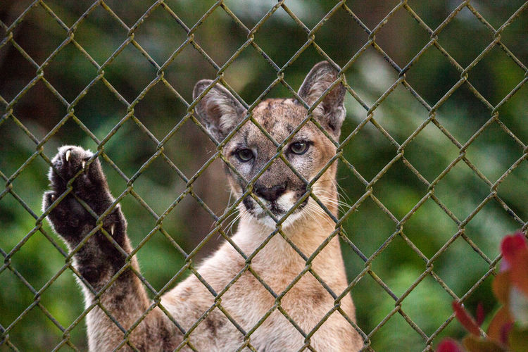 Florida panther Puma concolor coryi leans a paw against a chain-linked fence Florida Panther  Puma Concolor Coryi Animal Animal Themes Animal Wildlife Animals In Captivity Barrier Big Cat Chainlink Fence Close-up Day Fence Focus On Foreground Looking At Camera Mammal No People One Animal Outdoors Portrait Protection Puma Safety Security Vertebrate Zoo