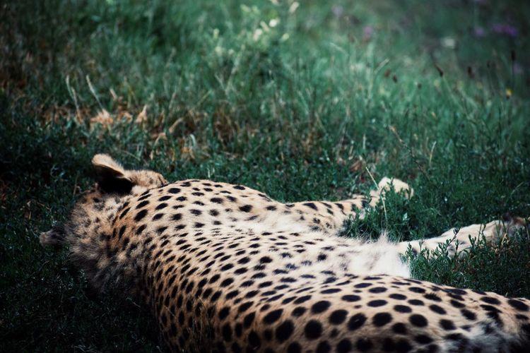 Cheetah resting in a field