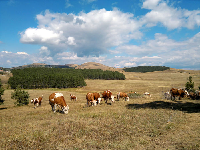 Cows in the field, mountain Zlatibor, Serbia. Serbia Animal Animal Themes Cattle Cloud - Sky Cow Domestic Domestic Animals Field Grass Group Of Animals Land Landscape Livestock Mammal Mountain Nature No People Outdoors Plant Sky Zlatibor