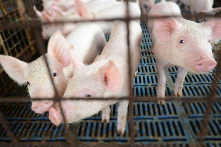 Cute piglets at farm