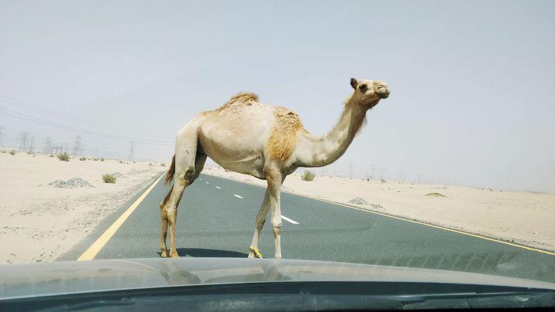 Sand Dune Desert Arid Climate Sand Heat - Temperature Camel Sky Animal Themes Herd Tusk Animal Migration Safari Animals