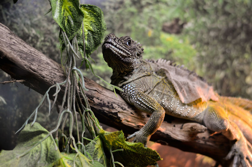 Reptile Animal Wildlife Lizard Animals In The Wild No People Nature Iguana Tree Animal Themes Close-up Day Outdoors