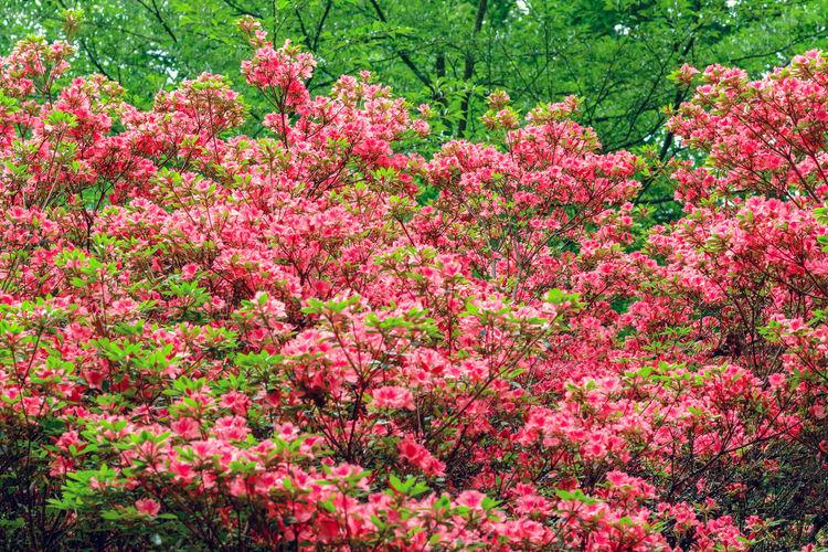 Full frame of pink flowering plants