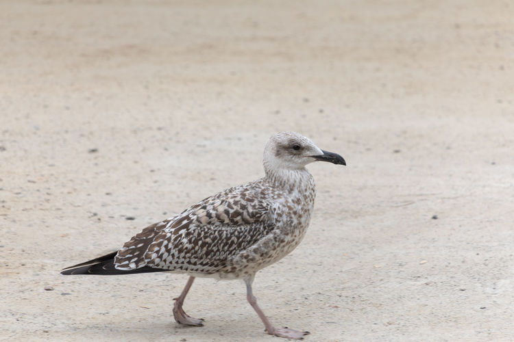 Seagull in porto Animal Animal Themes Animal Wildlife Animals In The Wild Beach Bird Close-up Day Focus On Foreground Full Length Land Looking Nature No People One Animal Perching Sand Seagull Side View Vertebrate Zoology