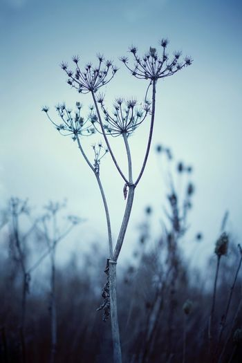 Nature Plant Evening Evening Light Bokeh Bokeh Photography Selective Focus Fragile Delicate Focus On Foreground Tranquility Sky Cold Temperature Beauty In Nature Clear Sky