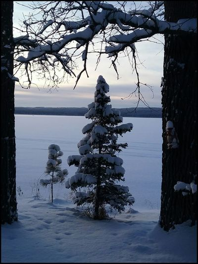 Roy Lake Mn Winter Cold Temperature Snow Tree Frozen Nature Pinaceae
