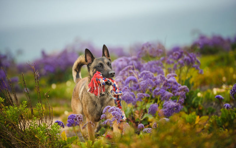 Belgian malinois carrying rope in mouth while walking on field