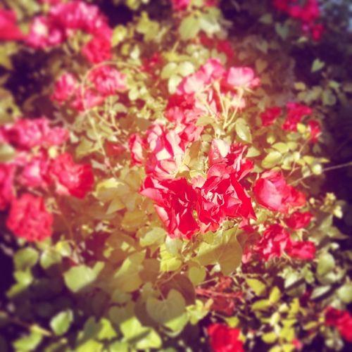 Flower Taking Photos Rose♥
